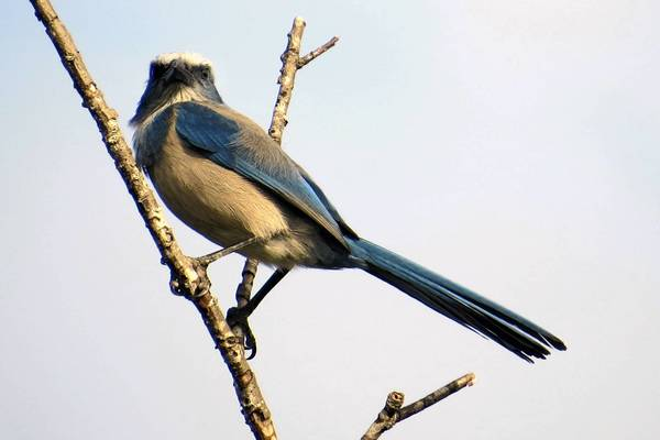 The rare Florida scrub-jay lives only in Central Florida, including some spots in South Lake.