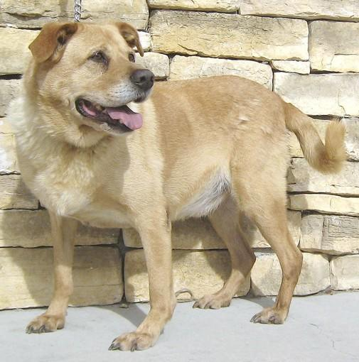 Audi, a 5-year-old chow mix, with likely some golden retriever in his background.