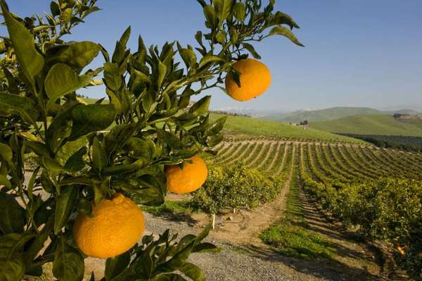 Oranges and lemons are damaged when exposed to temperatures of 28 degrees or less. Mandarins with their thin rinds are even less tolerant and experience damage at 32 degrees.