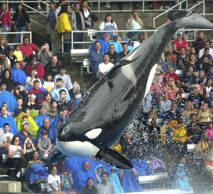 A Christmas eve crowd watches one of the killer whales go airborne during the Shamu show at Sea World Orlando, Tuesday, Dec. 24 2002.