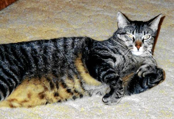 Goofy, an 11-year-old cat owned and loved by Ann Raubenhold, 50, of Allentown.