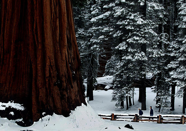 A blanket of fresh snow along the Big Trees Trail in Sequoia National Park.