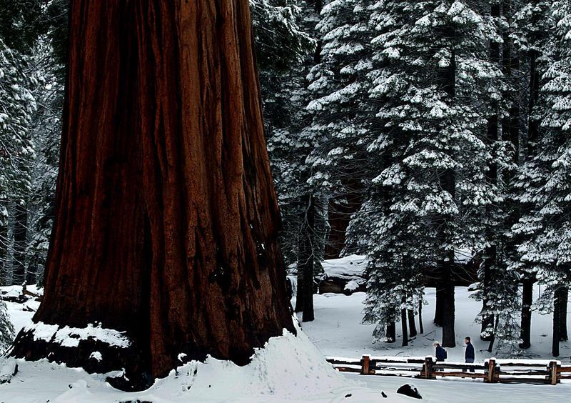 Big Trees Trail, Sequoia National Park. (Luis Sinco / Los Angeles Times)