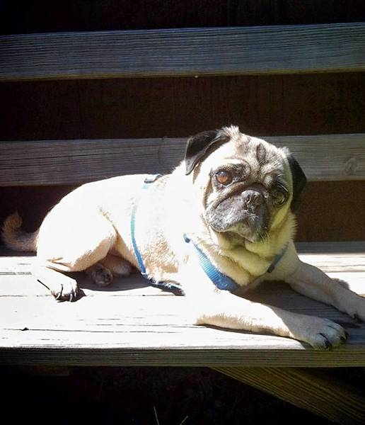Howie, a 6 year old pug, owned and loved by Erica Muscovitch of Jim Thorpe.