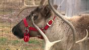 Mingle With Reindeer, Get Into Christmas Spirit At Dzen Tree Farm