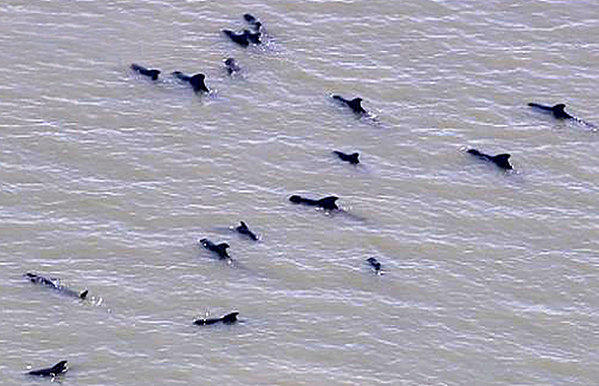 About 50 pilot whales were found stranded in shallow waters off Highland Beach in Everglades National Park Wednesday morning MUST CREDIT: Courtesy/ Channel 7 WSVN