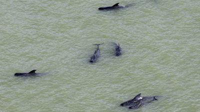 11 more pilot whales die in Florida; outlook 'bleak' for survivors