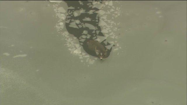 RAW VIDEO: Buck trapped by ice in Des Plaines River