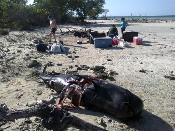 Eleven whales discovered dead Sunday on Snipe Point near Key West were examined Monday by veterinarians.