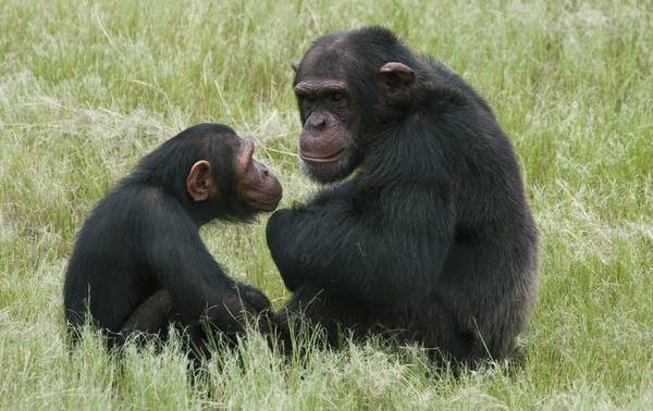 do chimpanzees have culture As a result, the senior males of a chimpanzee or bonobo group have known all junior males since birth, and all junior males have grown up together.