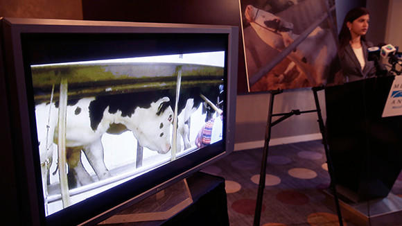 Mercy For Animals general counsel Vandhana Bala releases a hidden-camera video during a press conference at the Sofitel Water Tower Hotel, 20 E. Chestnut St., on Tuesday showing animal abuse at Wiese Brothers Farms in Greenleaf, Wisc., a dairy that supplies cheese to Nestle.