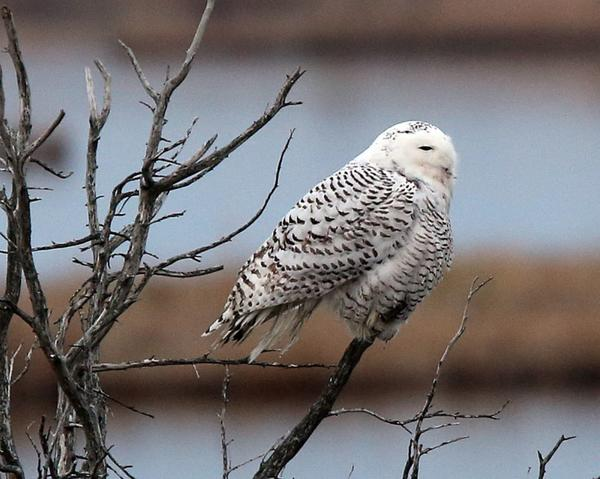 Officials say snowy owls are migrating south from the Arctic Circle in far higher numbers than normal, a factor in recent incidents in which aircraft have been struck by the birds. Above, a snowy owl sighting in New Jersey.