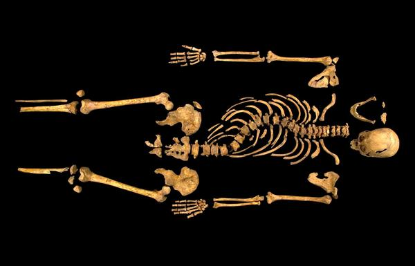 Remains of King Richard III - Excavated skeleton of King Richard III