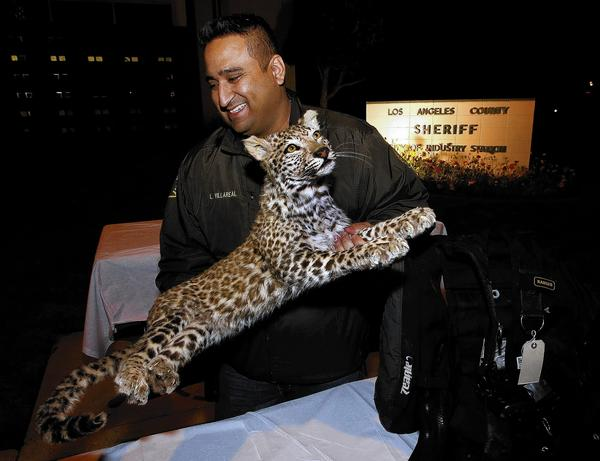 Det. Larry Villareal of the Los Angeles County Sheriff's Dept. carries a mounted snow leopard, valued by the owner at $250,000, back to the evidence locker after it was put on display for the media along with other stolen items from a La Habra Heights mansion on Wednesday.