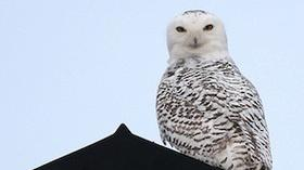Snowy owl influx is a boon for birders, a threat to airplane safety