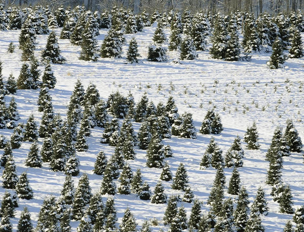 This is the critical time for many Christmas tree farms that have spent years and sometimes up to decades on growing trees for the holiday seasons. Jarrettsville Nurseries, co-owned by Boyd Saulsbury , is one of the largest in Maryland and devotes 150 acres to growing Christmas trees.