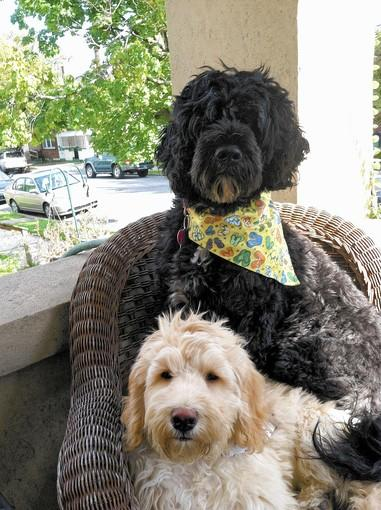 Jerzee, 5 years old, and Chase, 4 months old, both Portuguese Water Dogs, owned and loved by Bob and Maggie Newhard, 70 and 60, of Allentown.
