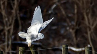 Snowy owl visits Harford [Pictures]
