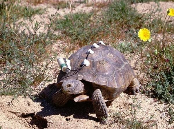 An Agassiz's desert tortoise outfitted with monitoring equipment in Joshua Tree National Park.