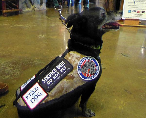 This mixed terrier Nellie is a new type of service dog that helps veterans with post-traumatic stress disorder.