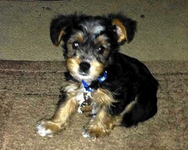 Puka Curry, a Yorkshire Terrier, is owned and loved by Kezia Gabriel, 47, of Bethlehem.