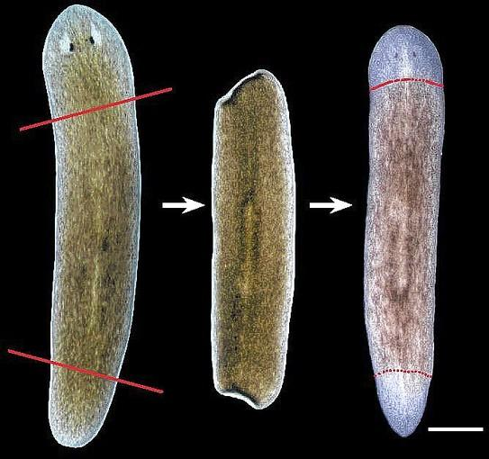 A worm, from left, one with head and tail amputated, and one after regeneration.