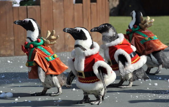 Penguins dressed in Santa Claus costumes parade during a promotional event at the Everland amusement park in Yongin, south of Seoul, Korea on November 16, 2010.