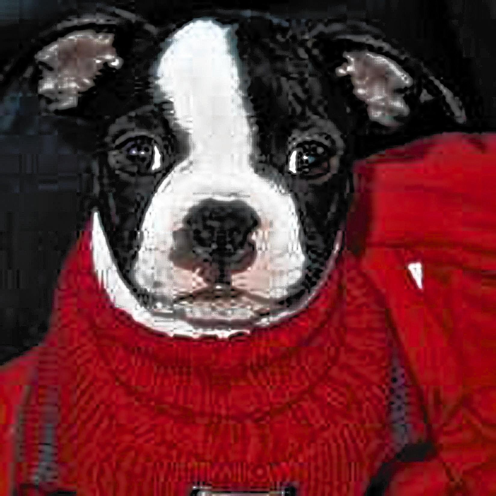 Rex, a 1 and a half year old Boston Terrier, owned and loved by Linda Carfagna, 51, of Laurys Station.