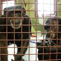 Most chimps retired from medical research