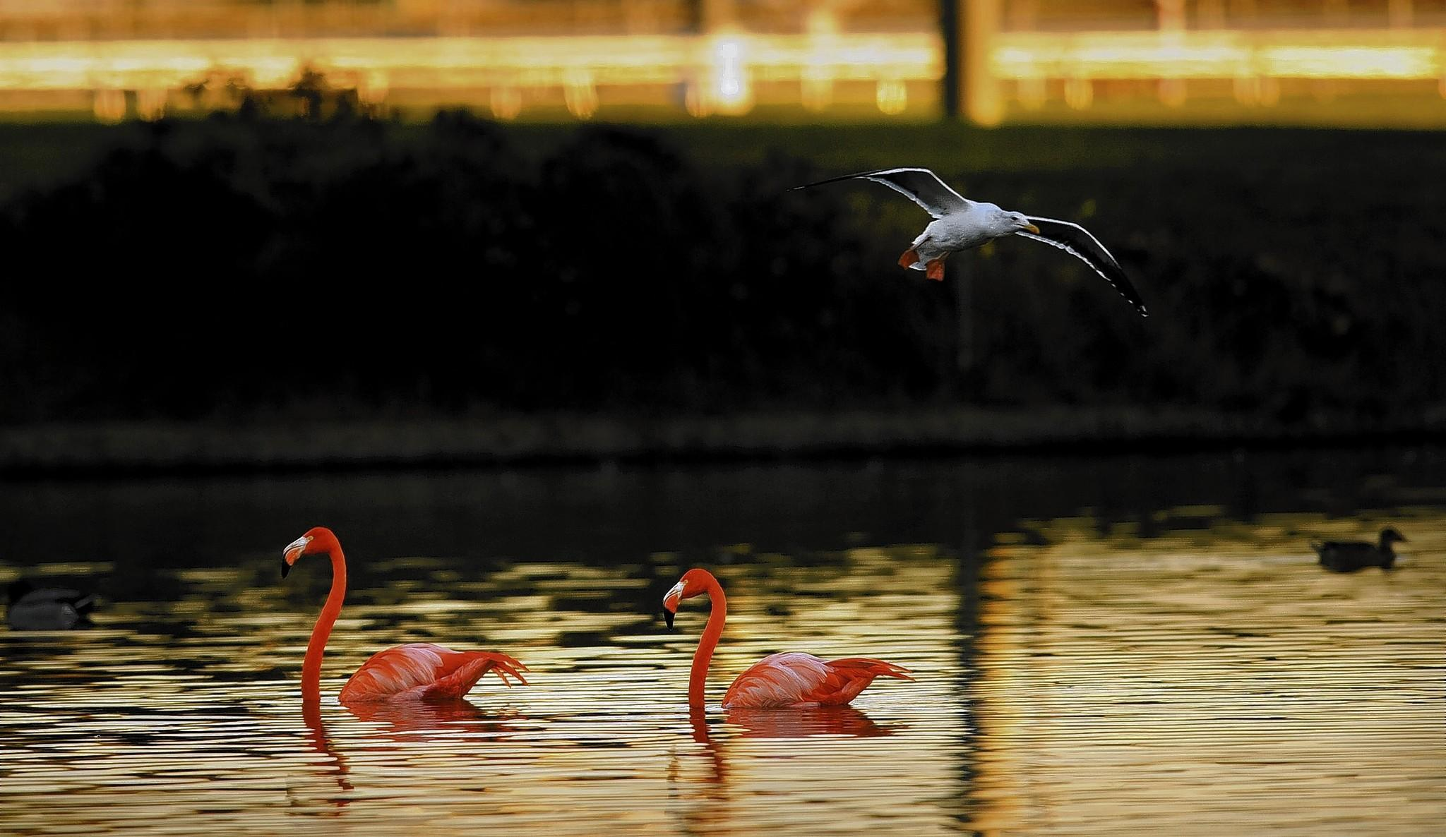 Two flamingos float on a lake at Betfair Hollywood Park racetrack in Inglewood. Los Angeles Zoo officials tried to trap them twice to take them to the Charles Paddock Zoo in Atascadero, but the birds escaped both attempts.