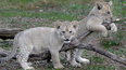 Baltimore Zoo visitors name lion cubs Luke and Leia