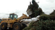 Governments begin Christmas tree disposal, recycling