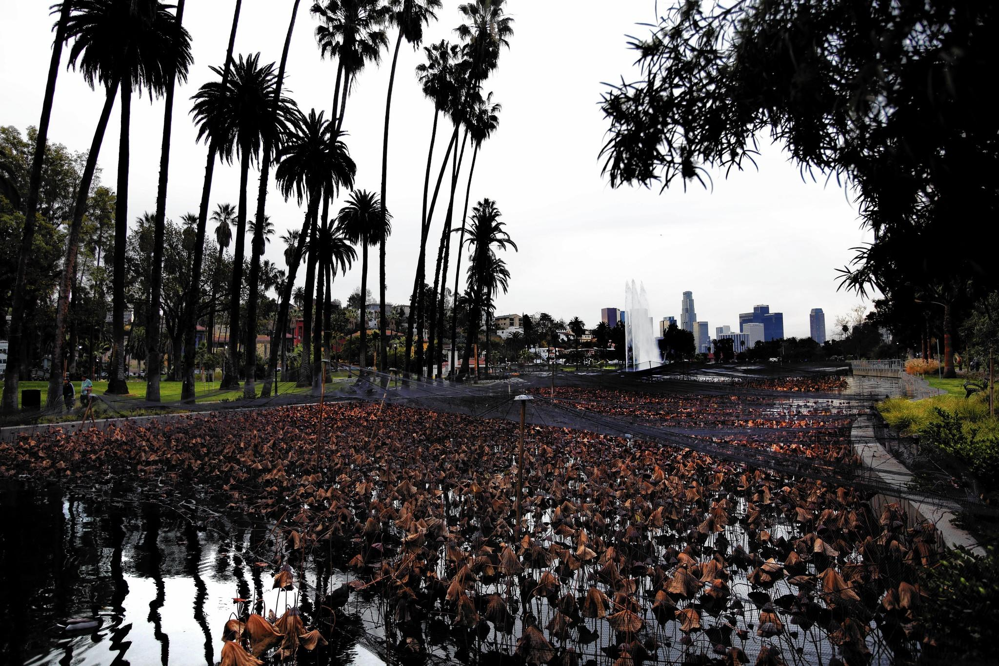 Dormant brown lotus plants are visible in Echo Park Lake after recent restoration.