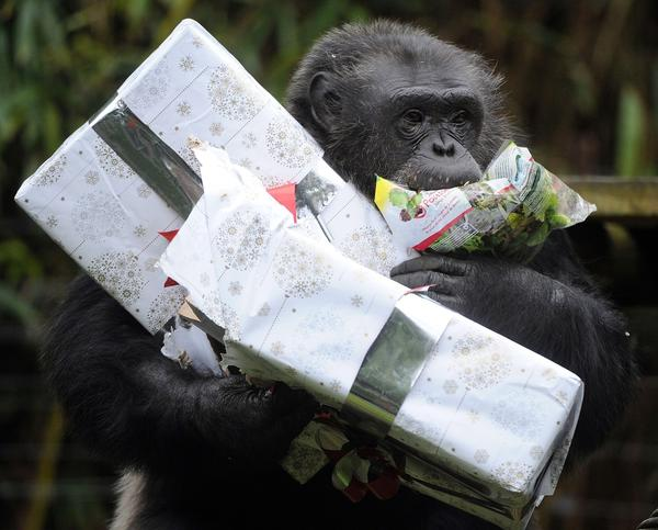 Chimp at Christmas