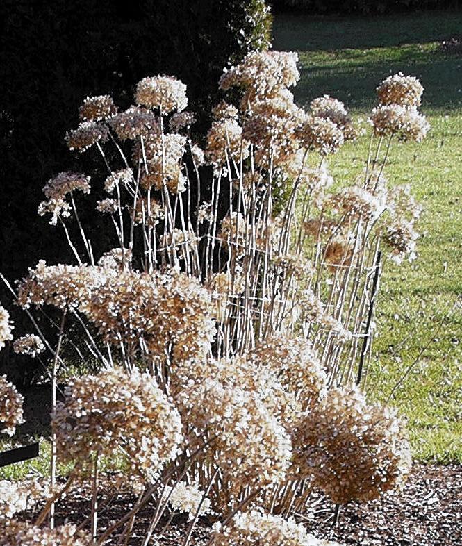 Hydrangea 'Annabelle.' Stunning winter interest can be achieved by juxtaposing dry hydrangea flowers against a dark background.