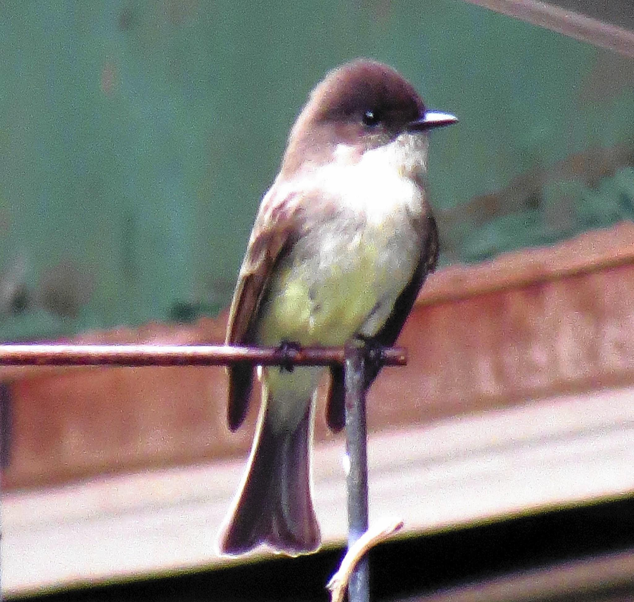 The song of the Eastern Phoebe is one of nature's natural stress relievers.