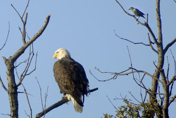 A starling (upper right) keeps a close eye on a bald eagle that visited Walker Avenue in Baltimore City.