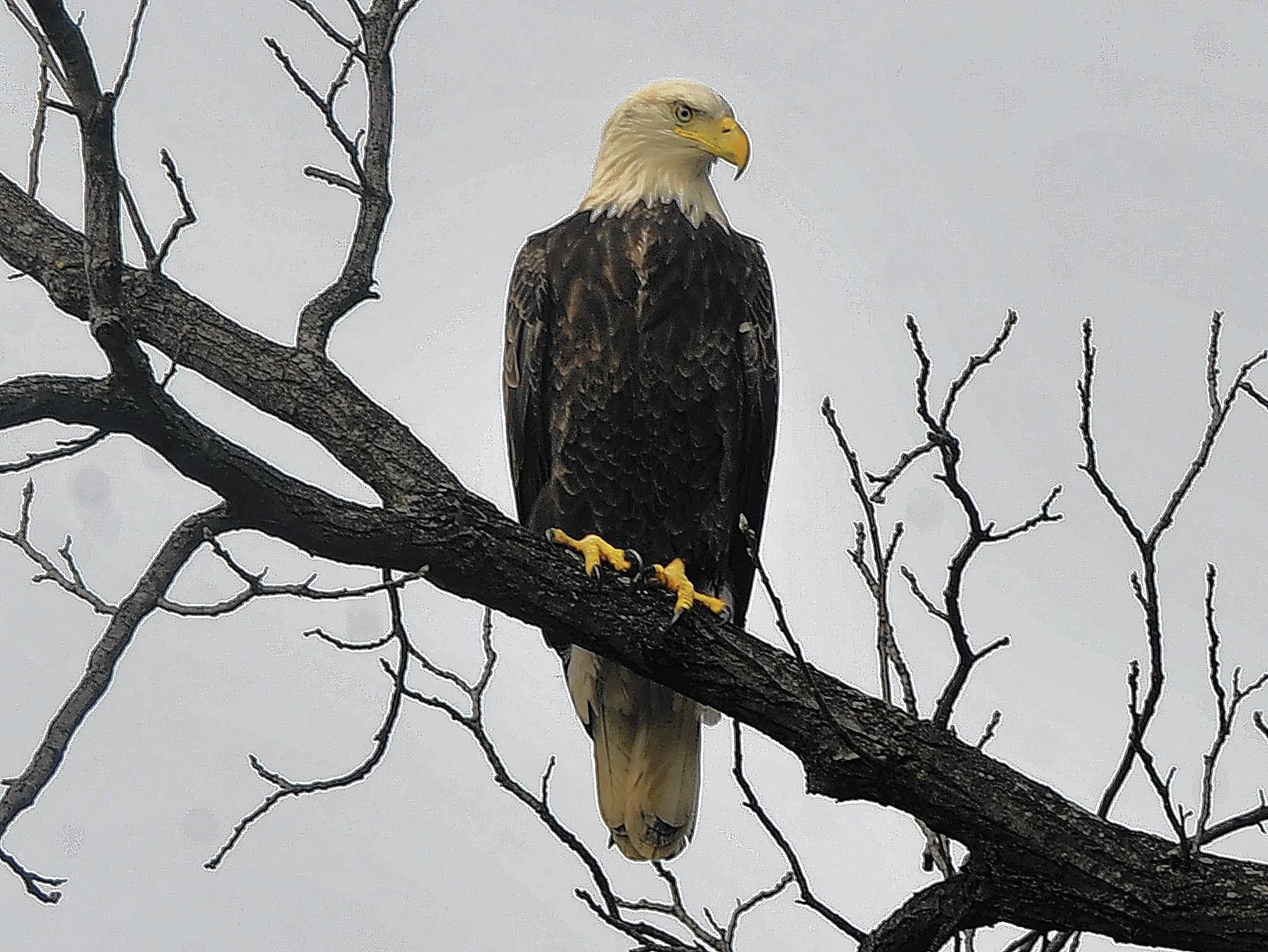 Bald eagles are making comebacks in New Jersey and Pennsylvania.