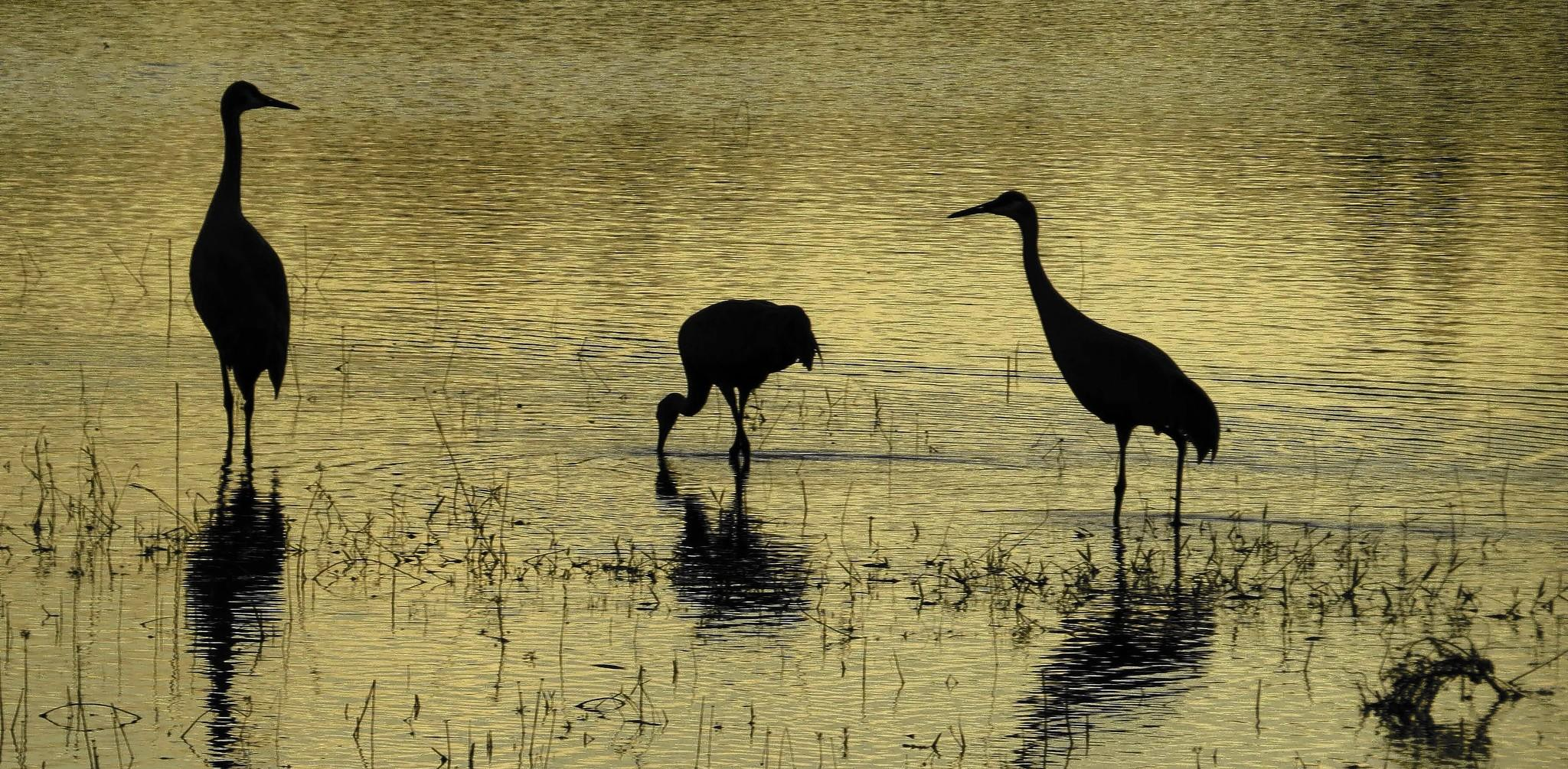 A family of sandhill cranes that Sherry Boas watched last year has returned to the same lake near Groveland.