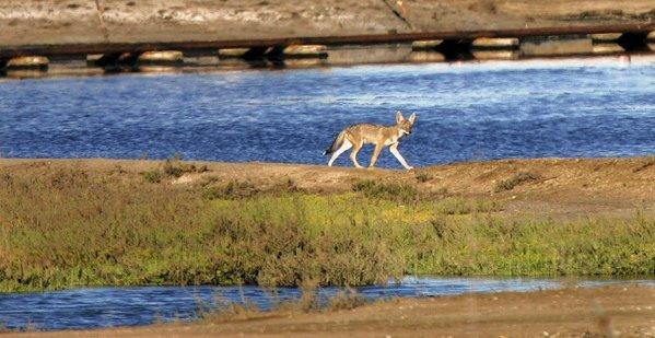 Coyotes are often targets of U.S. Wildlife Services if they attack cattle or farm animals. But some former agency workers, biologists and members of Congress question the agency's methods and the cost to taxpayers.