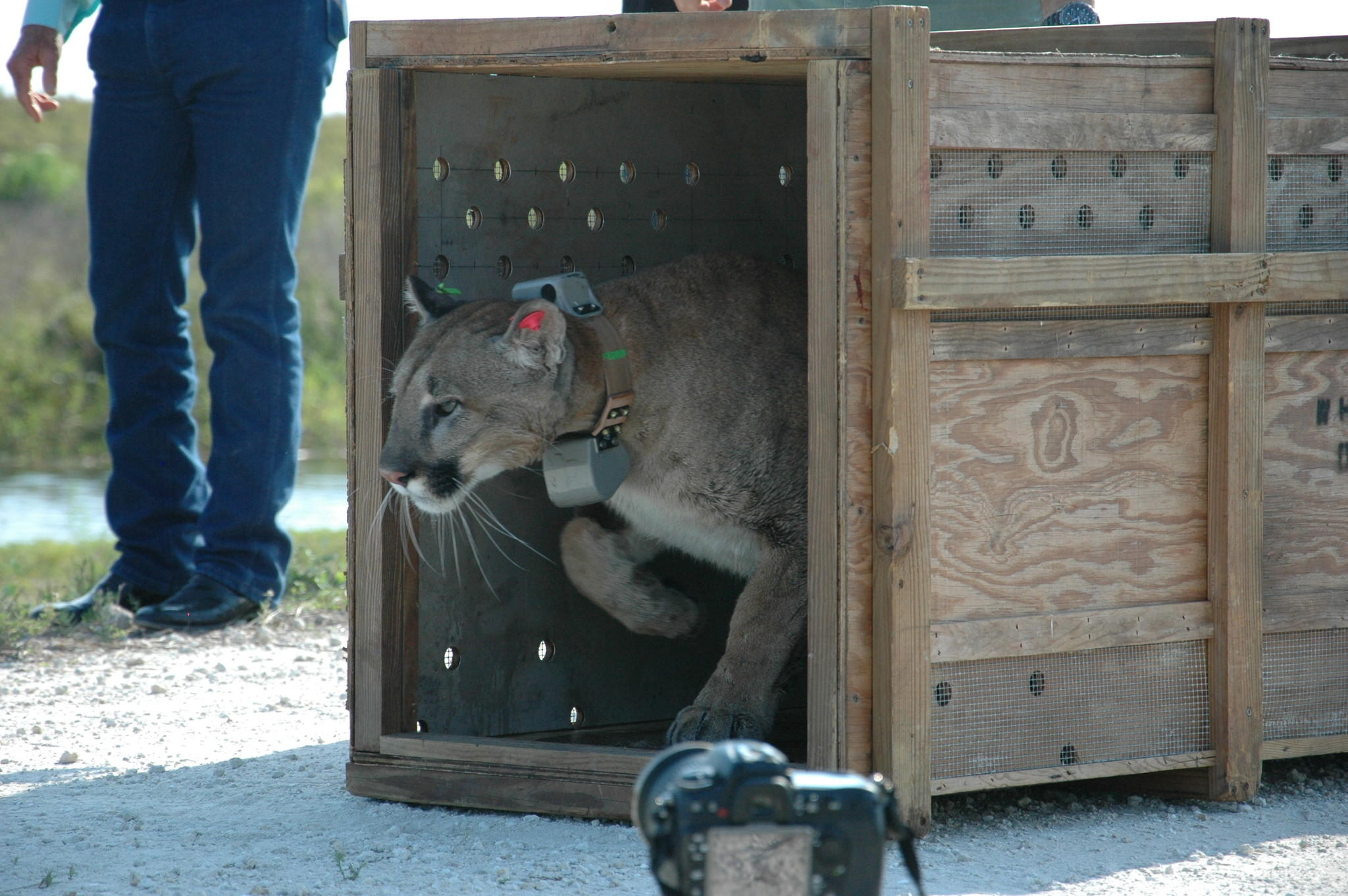 An orphaned panther is released the Rotenberger Wildlife Management Area.