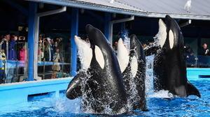'Shamu Up Close' showcases training while SeaWorld stadium is renovated