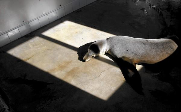 Finale, a California sea lion and one of the last patients of 2013, gets some sun in one of the Pacific Marine Mammal Center's rehab rooms.