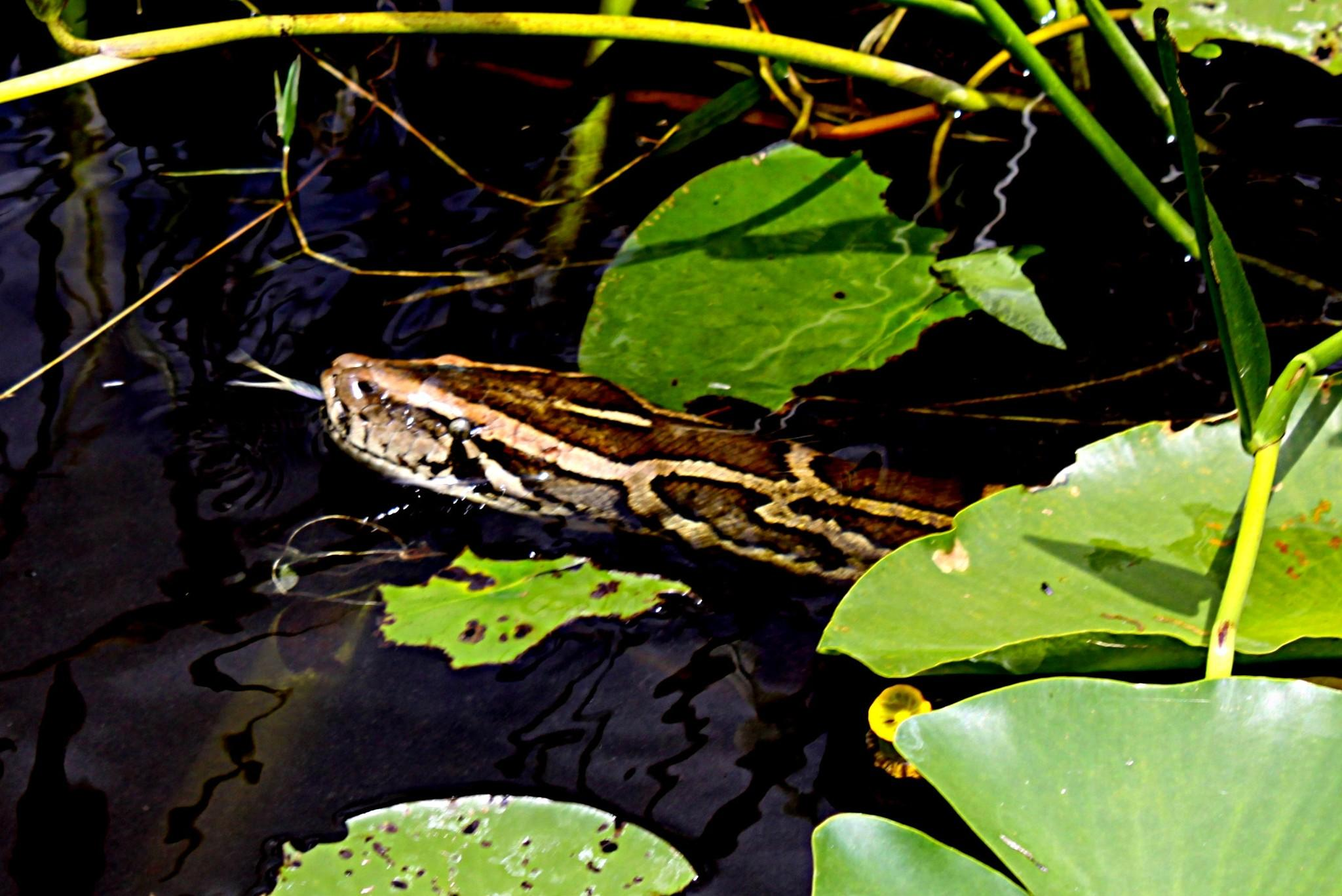 A Burmese python estimated at more than 16 feet long darts its tongue as it swims through the lily pads in the L-67A Canal in the Everglades. APril 30, 2013