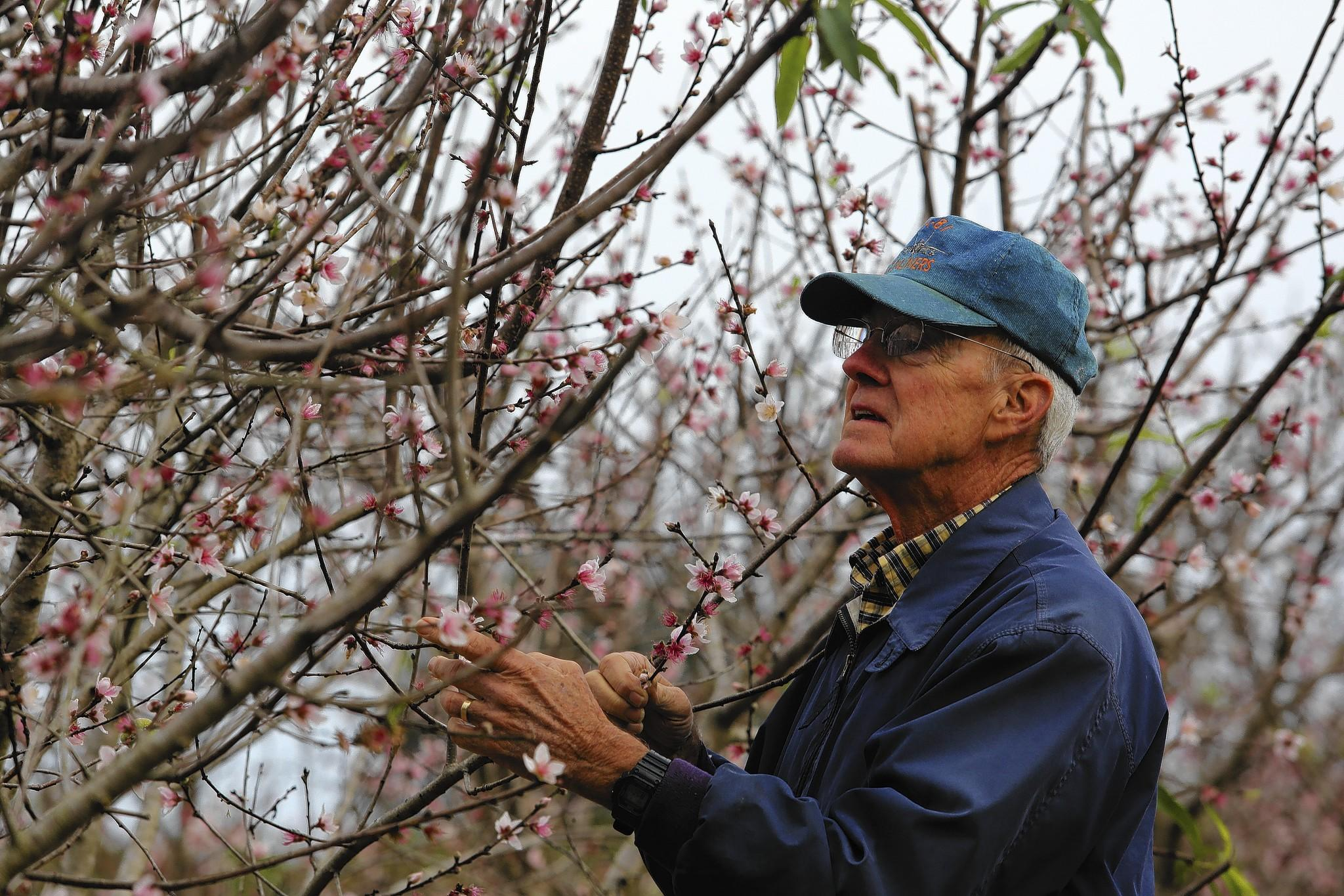 Benny McLean, production manager of Uncle Matt's Organic, examines trees at a low chil variety test orchard in Clermont on Wednesday, January 8, 2013.