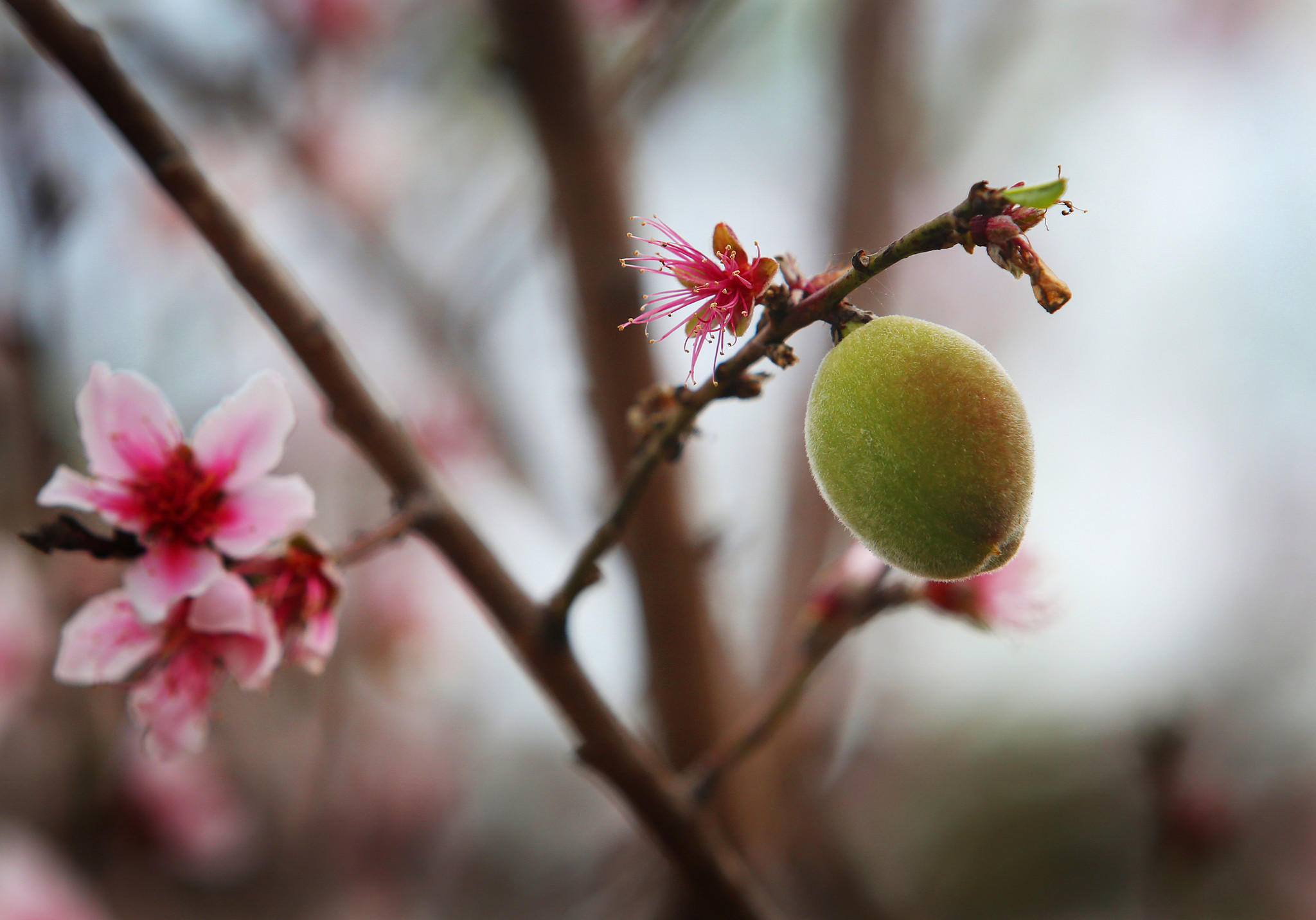 Peach blossom and fruit on a tree at a low chill variety test orchard in Clermont on Wednesday, January 8, 2013.