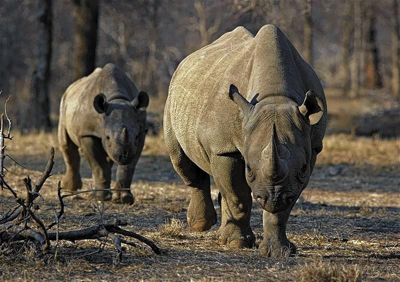 An endangered east African black rhino and her young one walk in Tanzania's Serengeti park in this file photo.