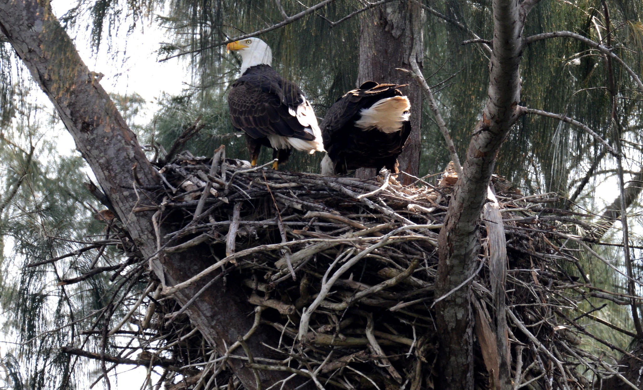 A (left) female and (right) male bald eagles stand on the edge of their nest in Pembroke Pines, location of the only known nest in Broward County, where it appears chicks have just hatched.