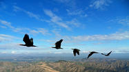 Why do birds fly in a V? Endangered ibis reveals its amazing secret