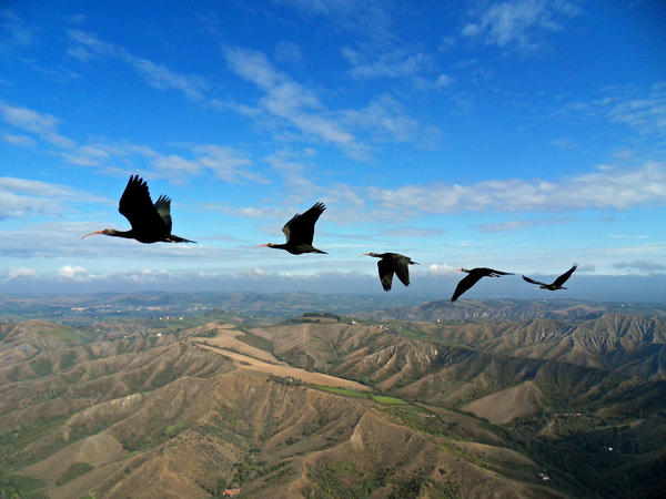 Northern bald ibises in V-formation flight